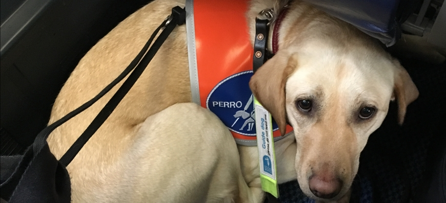 """Lassie curled up on the floor in front of a seat on an airplane. She is wearing an orange vest that has a blue guide dog symbol on it. She is looking at the camera. Her guide dog lead with the words """"please don't feed me"""" lies across her. You can see my shoe in the right hand lower corner"""